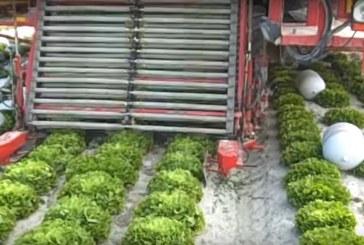 Zbiór sałaty