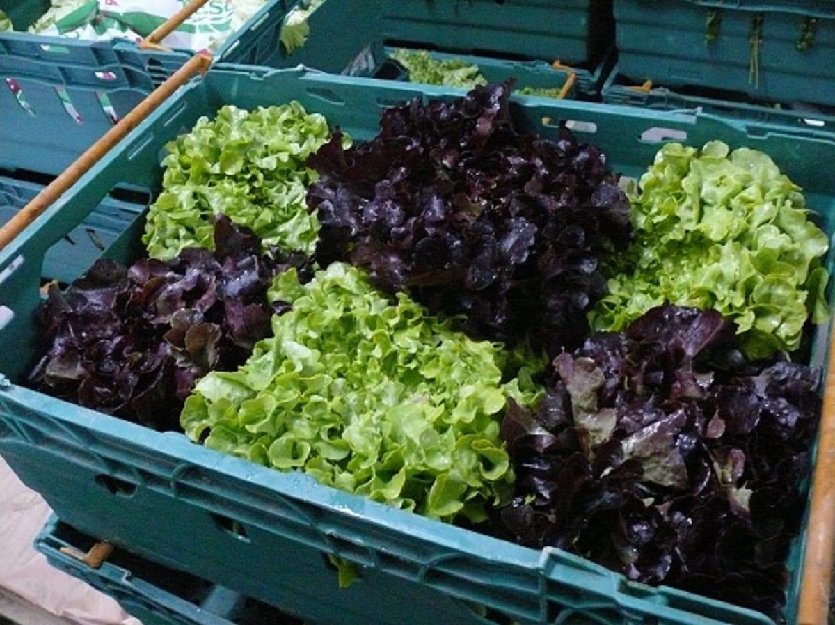 Wielka Brytania bez dostaw sałaty?