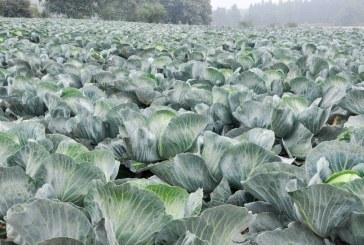 O ochronie i pożytecznych mikroorganizmach w uprawach kapustnych i cebulowych