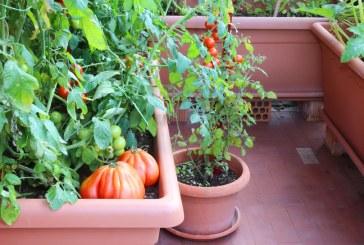 Na balkon zamiast pelargonii – pomidory, ziemniaki i tykwa