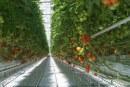 Mikroelementy w żywieniu pomidora