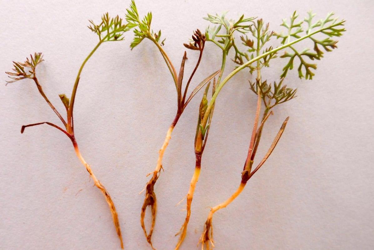 Unikaj uprawy marchwi w monokulturze