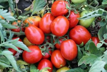 Pomidory z rejonu Parmy