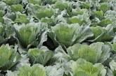Analiza gleby w uprawie kapusty się opłaca