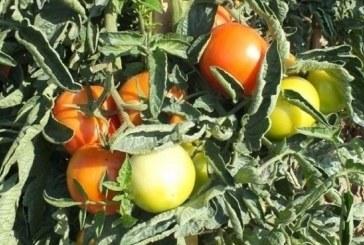 Pomidorowa potęga – Włochy