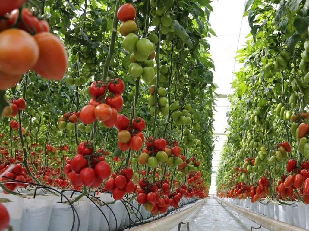 Bardzo dobre zbiory rosyjskich warzyw szklarniowych
