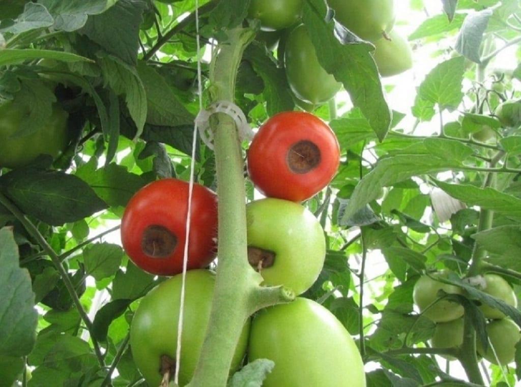 Sucha zgnilizna wierzchołków owoców – aktualny problem