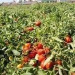 Początek sezonu pomidora polowego na Ukrainie