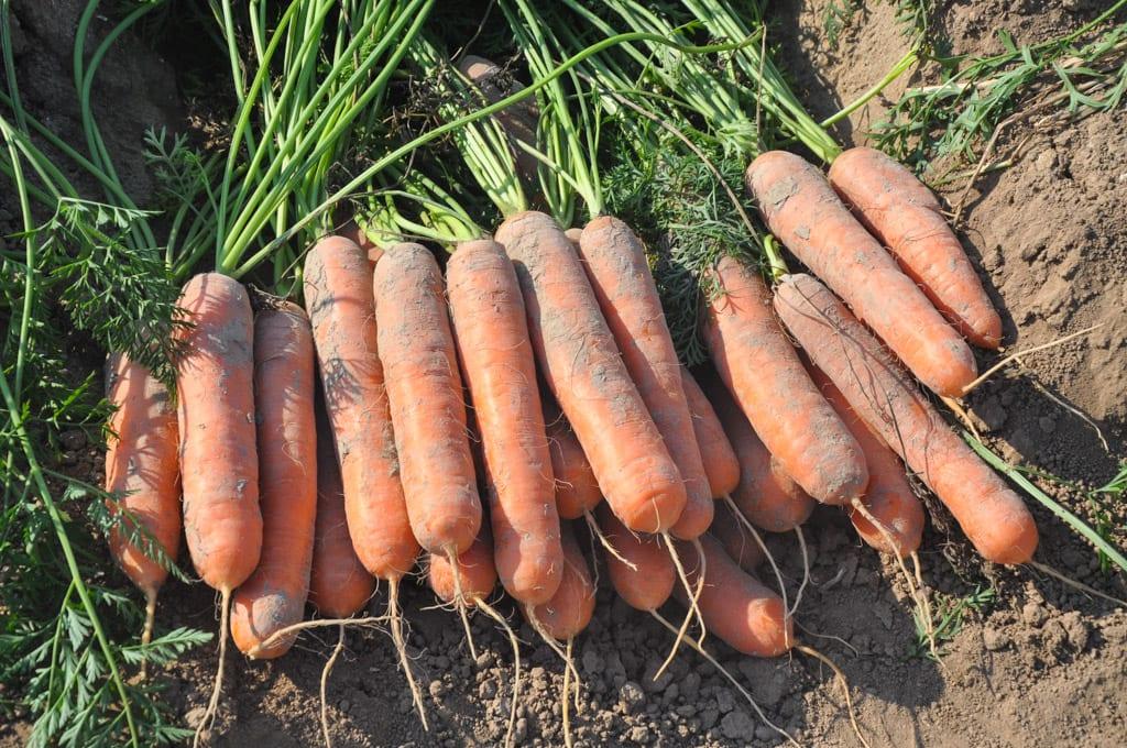 Włochy: marchew w hurcie nawet 1,40 euro/kg