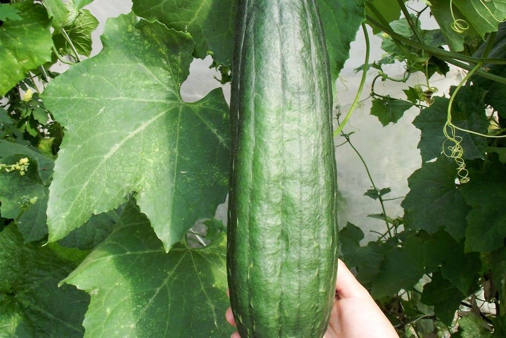 Trukwa – mało znane warzywo z Chin