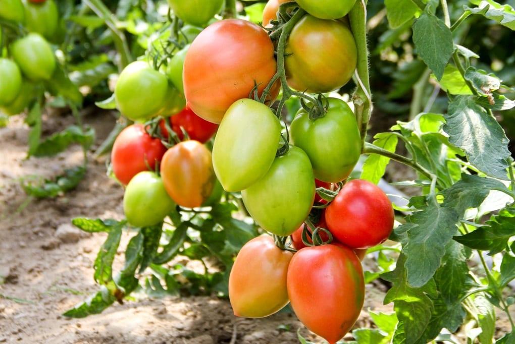 Pomidorowe propozycje do tuneli w Rzeczycy