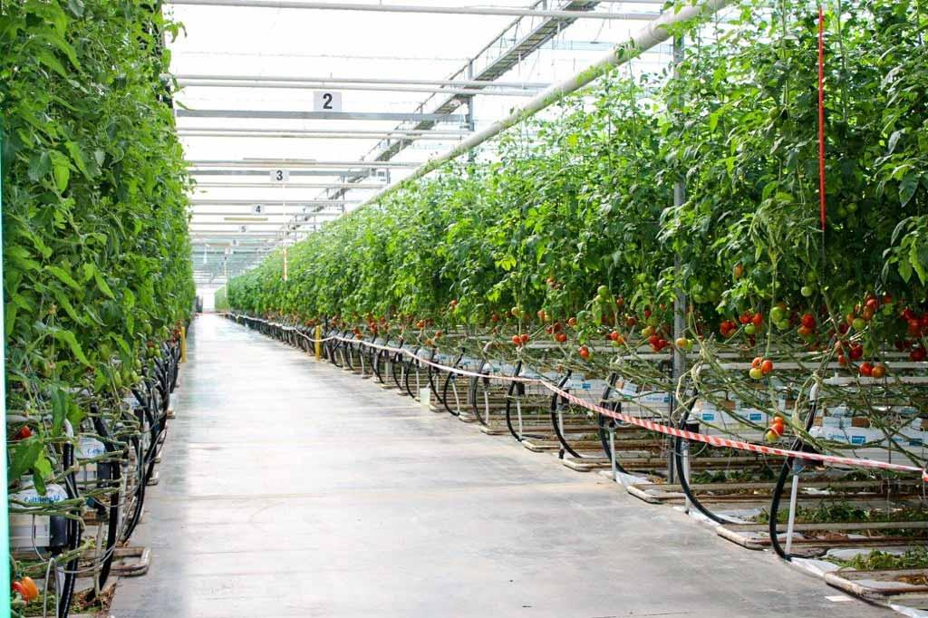O pomidorach szklarniowych w Całowaniu