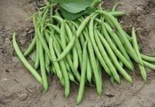 Odmiany fasoli szparagowej