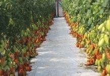 Odmiany pomidorów w Starych Marzach