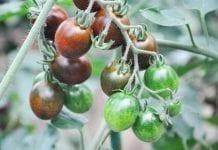 Odmiany warzyw z tureckiej stacji hodowlanej