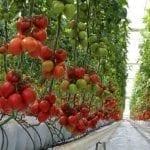 Drożeją rosyjskie pomidory