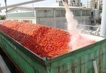To był trudny rok dla producentów pomidorów przemysłowych