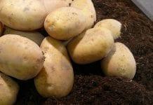 Straty rosyjskich plantatorów ziemniaków