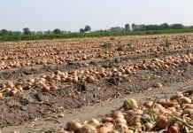 Wzrost podaży cebuli na Ukrainie. Cebula szybko tanieje