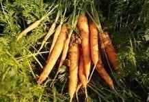 Trudny sezon w uprawie korzeniowych
