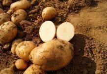 Różne oblicze ziemniaka