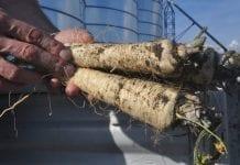 Ograniczenie nicieni w uprawie pietruszki