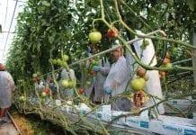 Maluno – nowy pomidor malinowy na rynku