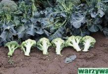 Kolekcja brokułów w Boczkowie