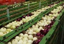 Uprawa cebuli z dymki