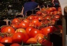 Europa Wschodnia: Spada podaż ogórków i pomidorów szklarniowych