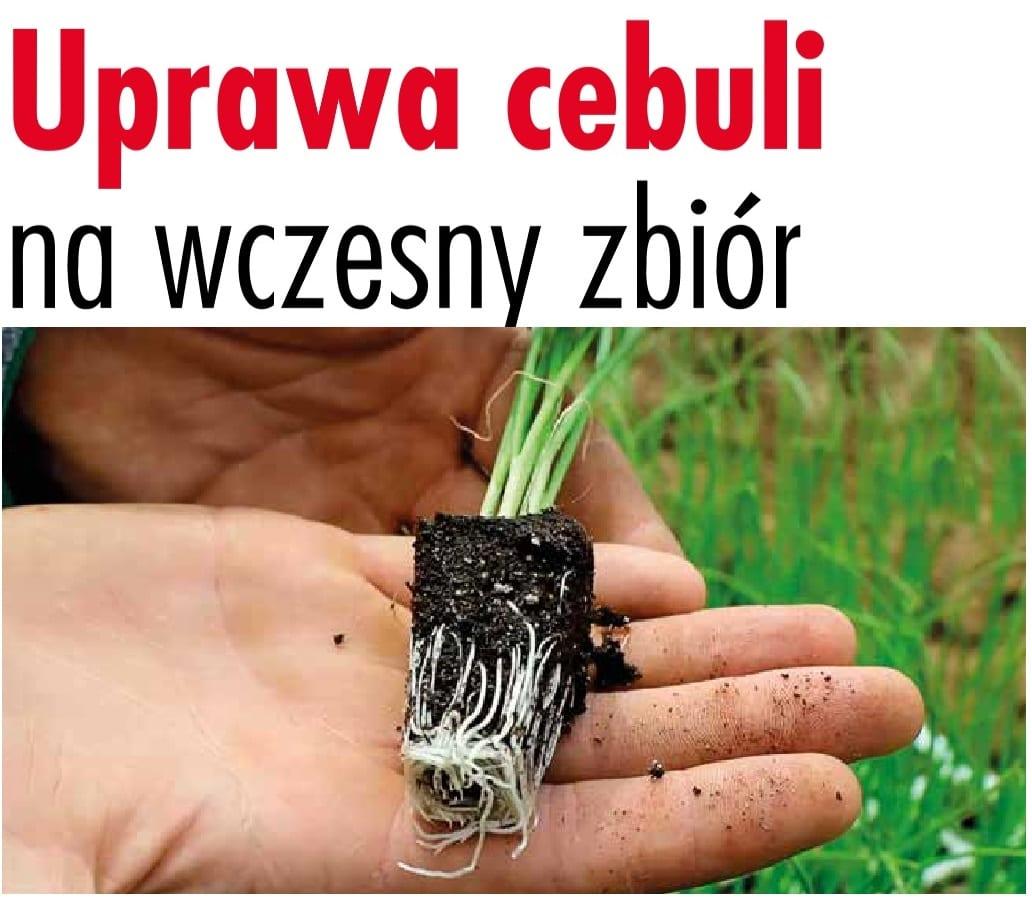 Uprawa cebuli na wczesny zbiór