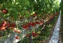 Wzrost zbiorów warzyw szklarniowych w Rosji