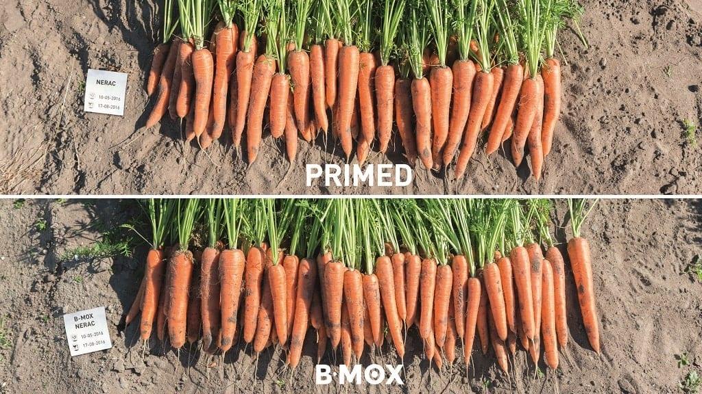 B-Mox w uprawie marchwii