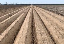 Rosyjski rynek sadzeniaków ziemniaka