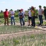 Doświadczenia herbicydowe w uprawie cebuli - fot. A. Andrzejwska