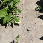 Na dolnych liściach fasoli szparagowej można jeszcze było zobaczyć objawy fitotoksyczności po wykonanym zabiegu - fot. A. Andrzejewska