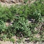 Większe rośliny psianki są odporne na działanie tego środka - fot. A. Andrzejewska