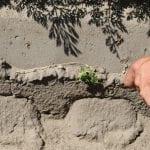 We wczesnej fazie wzrostu psianka również została uszkodzona przez herbicyd - fot. A. Andrzejewska