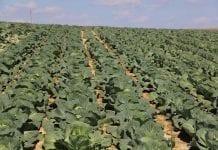 Zagrożenie chorobami i szkodnikami w uprawie warzyw w 22 tygodniu roku