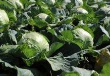 Komunikat warzywniczy na 33 tydzień roku