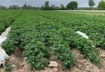Technologia dla ziemniaka