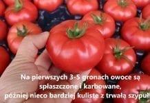 72-540 RZ F1 – premiera nowego pomidora malinowego