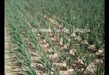 Plantacja cebuli – rozsada grupowa – Grupa Mularski