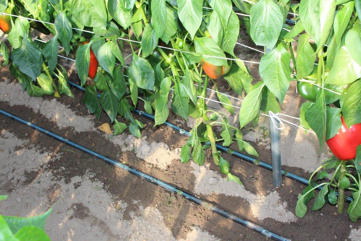 Warzywa pod osłonami - fertygacja