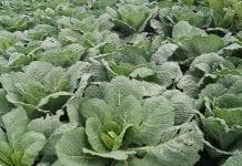 Komunikat warzywniczy. Zagrożenia chorobami i szkodnikami