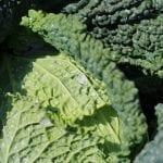 Mączlik warzywny – i nici z jakości kapusty