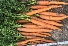 Młoda marchew – ceny nie idą w dół