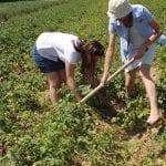 Ocena plonowania odmian
