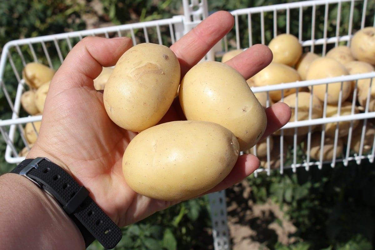 V Spotkanie Ziemniaczane - Syngenta - ochrona ziemniaków