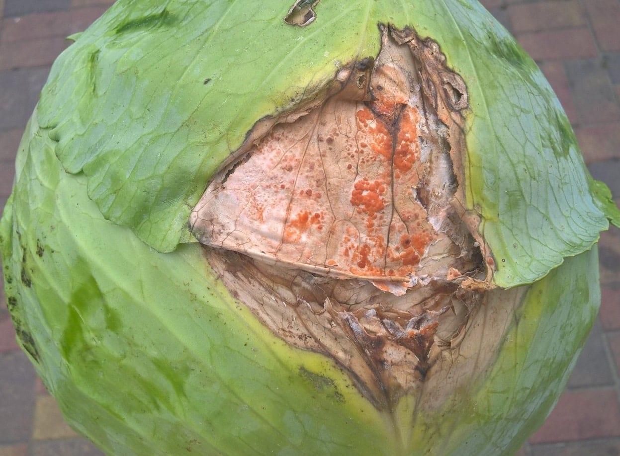 Charakterystyczne pomarańczowe gnicie główek to choroba o nazwie fuzarioza kapusty.
